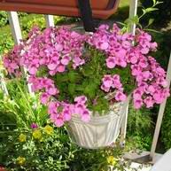 Encyclop die de mon jardin avec photos - Petites fleurs roses vivaces ...